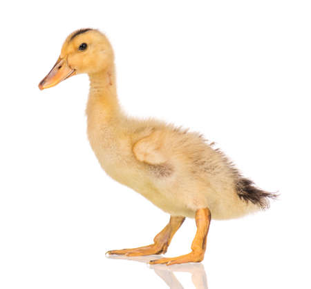 Cute little yellow newborn duckling isolated on white background. Newly hatched duckling on a chicken farm. Stock Photo