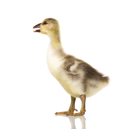 Cute little newborn fluffy gosling. One young goose isolated on a white background. Nice geese big bird. Standard-Bild - 110778202