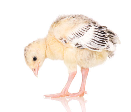 Cute little newborn chicken turkey, isolated on white background. One young nice big bird.