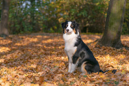 Beautiful Australian Shepherd Dog at Autumn Park or Forest. Close up Portrait of Happy Aussie puppy 10 months old - enjoy playing at park Outdoors.