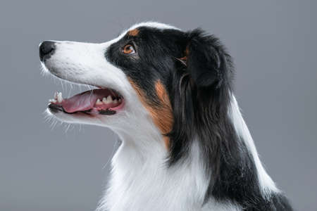 Close up portrait of cute young Australian Shepherd dog with open mouth on gray background. Beautiful adult Aussie, looking away.