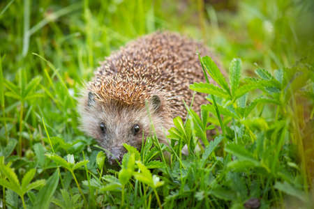Cute common hedgehog on green grass in spring or summer forest during dawn. Young beautiful hedgehog in natural habitat outdoors in the nature.