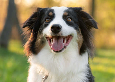Close up portrait of adorable young Australian Shepherd dog during sunset at spring or summer park. Beautiful adult purebred Aussie outdoors in the nature. Stock fotó