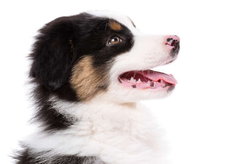 Australian Shepherd purebred puppy, 2 months old looking away, profile - close-up portrait. Black Tri color Aussie dog, isolated on white background.
