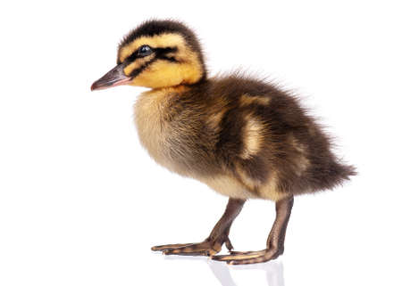 Cute little black newborn duckling isolated on white background. Newly hatched duckling on a chicken farm.