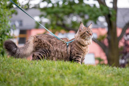 Portrait of Black tabby Maine Coon Cat at park. Young cute Cat with leash. Pets walking outdoor adventure on green grass.