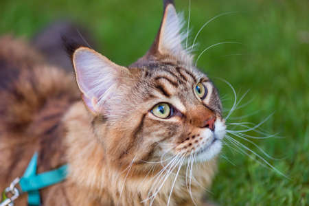 Portrait of Maine Coon Cat at park. Young cute Cat with leash. Pets walking outdoor adventure on green grass.