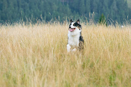 Australian Shepherd dog in autumn meadow. Happy adorable Aussie dog walking in grass field. Beautiful adult purebred Dog outdoors in nature. Banco de Imagens