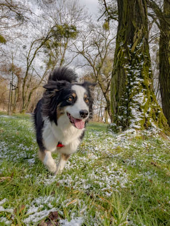 Australian Shepherd Dog playing at spring park. Happy Aussie walks at outdoors sunny day.