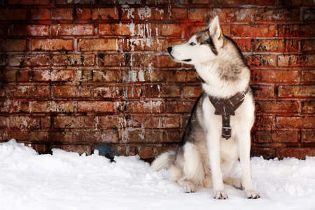 Husky on grunge wall background photo