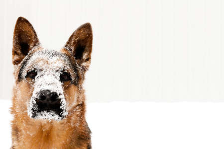 shepperd: portrait of dog Stock Photo