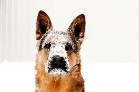 shepperd: portrait of dog Stock Photo
