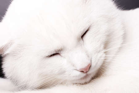 cat sleeping: white cat sleeping