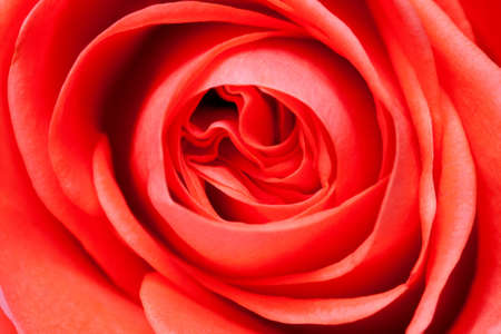 beautiful close up red rose photo
