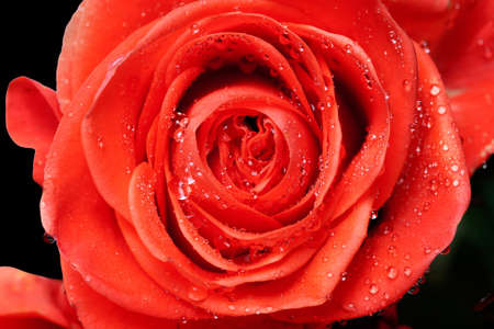 beautiful close up red rose with water drops photo