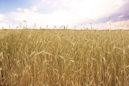 cornfield: Landscape with yellow millet Stock Photo