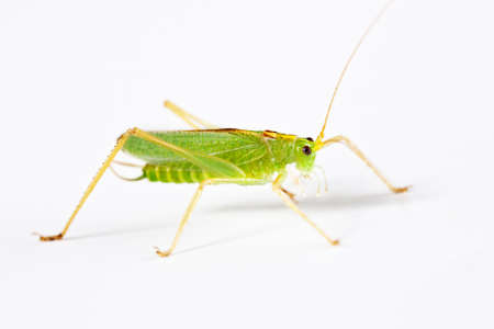 anthropoid: grasshopper from side on white background