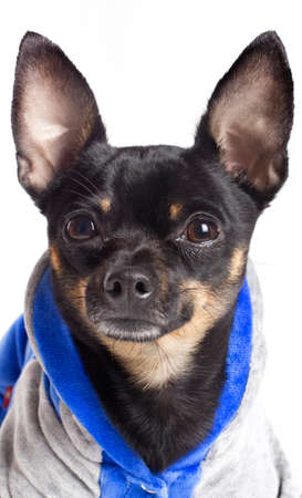 Toy terrier dog. Portrait on a white background photo