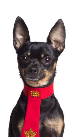 Toy terrier dog in the red tie. Portrait on a white background photo