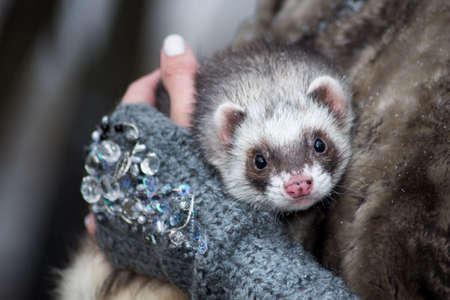black and white ferret in the hands of a woman
