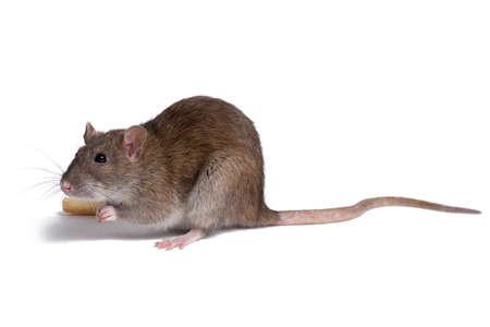 Ratte Nahaufnahme auf weißem Hintergrund isolieren