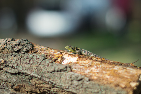 saurian: Tree lizard stay on the old wood