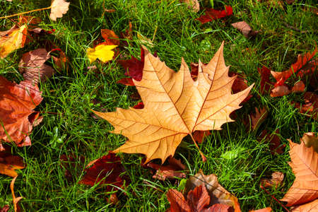 red leaves: Sharp and crispy shot of a fallen maple leaf