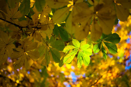 chestnut tree: Autumn colors on a chestnut tree Stock Photo