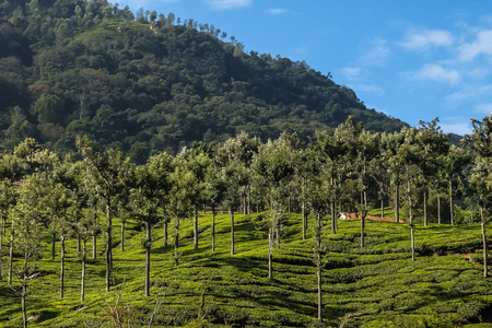 Coonoor, India - January, 25th, 2017. Tea field in Coonoor, Tamil Nadu, India Stock Photo