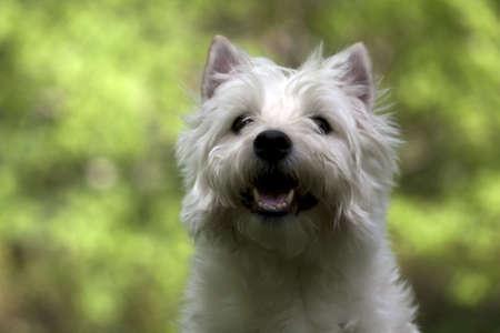 A Happy Westie