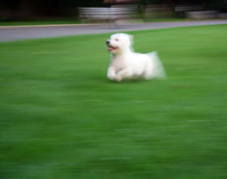 Happy Running Westie