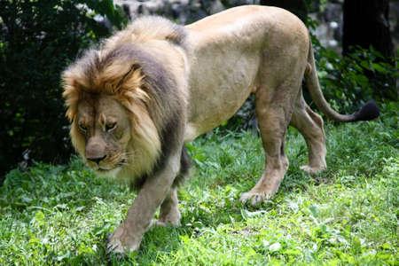 African Lion walking down a hill of green grass