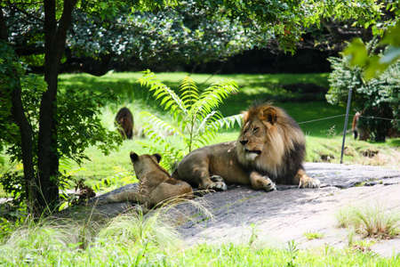 A female African lion with her cub resting on a rock in lush green foilage Stock Photo