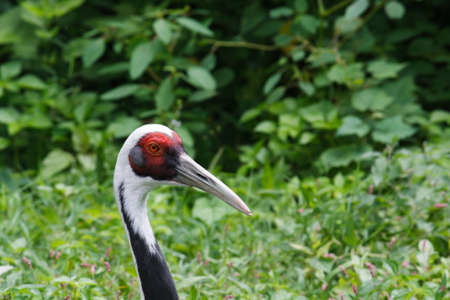 The head and profile of a white napped crane with green grass and leaves background Stock Photo