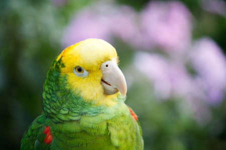 A close up of a yellow capped Amazon parrot with a blurred background