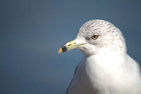 The Breast and head of a beautiful white Laridade Seagull Stock Photo