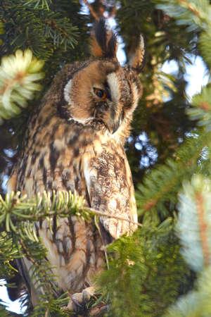 その自然の生息地で長い耳フクロウ