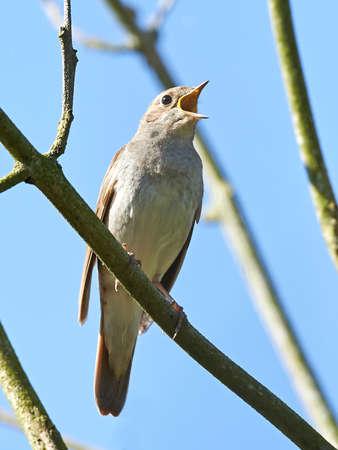 ruise�or: Ruise�or descansando y cantando en una rama