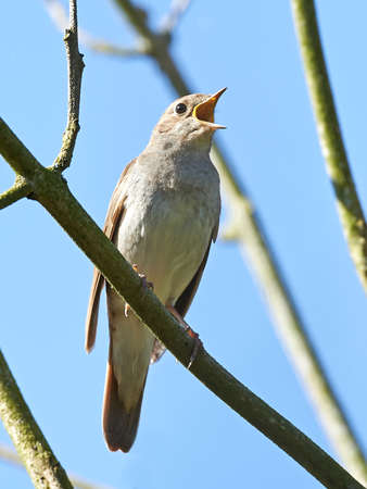 bird nightingale: Thrush Nightingale resting and singing on a branch