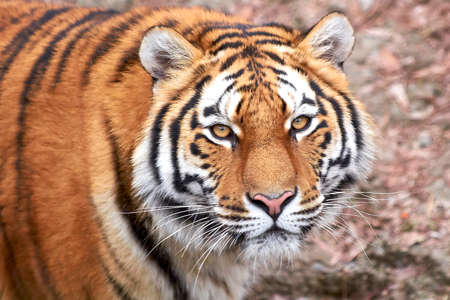 amur: Amur Tiger looking directly in the camera