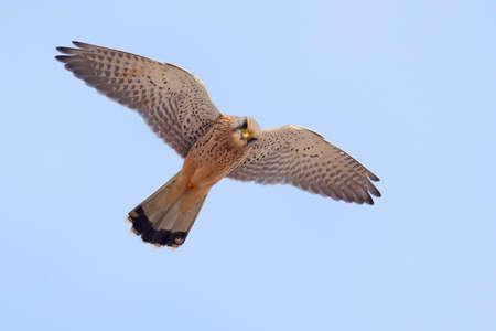 Cernícalo común en vuelo con el cielo azul en el fondo Foto de archivo - 31898267