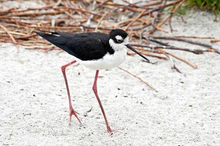 necked: Black Necked Stilt walking in sand