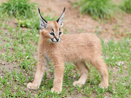 Cute and furry baby Caracal in its habitat