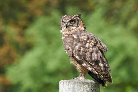 Spotted Eagle Owl resting Banque d'images