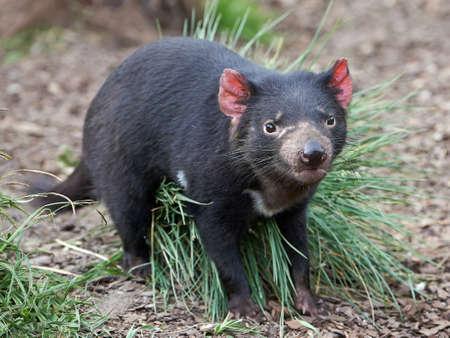 Tasmanian Devil walking in its natural habitat