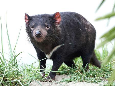 tasmanian: Tasmanian Devil walking in its natural habitat