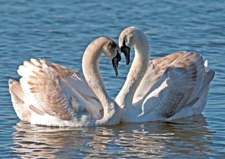 Mute Swans making heart with their necks