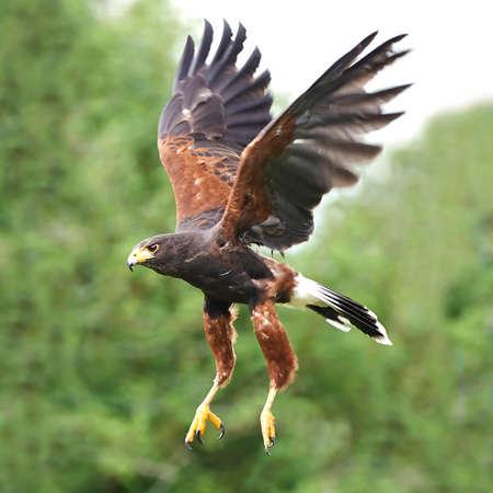 飛行中のハリス ホーク