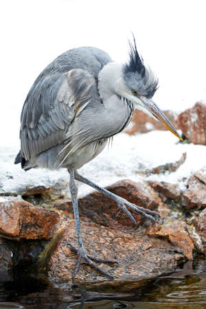 gray herons: Grey Heron resting by the water