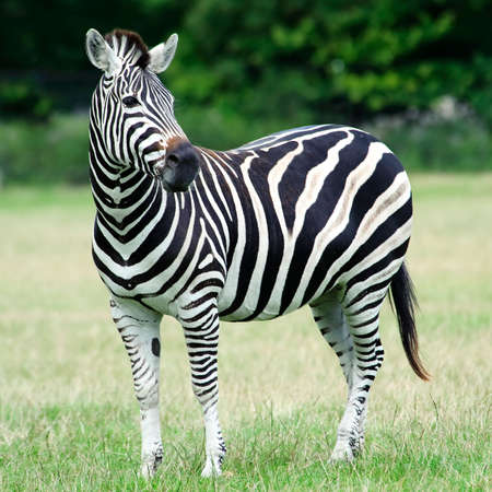 Plains Zebra resting in its natural habitat